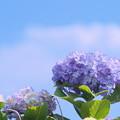 梅雨の晴れ間に咲く