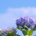 Photos: 梅雨の晴れ間に咲く