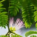 Photos: ネムノキの花