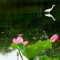 蓮の咲く沼