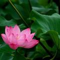 蓮の咲く沼2