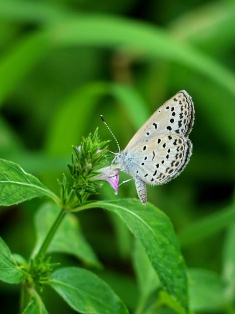 Photos: 草むらの蝶たち