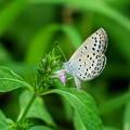 草むらの蝶たち