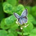 草むらの蝶たち2