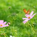 移り気な蝶