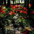 Photos: 木漏れ日を浴びて咲く