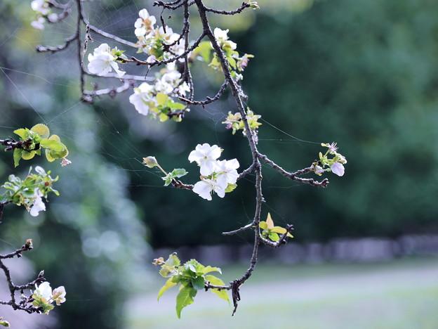 季節外れの桜1