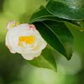 Photos: 日陰でソッと咲く