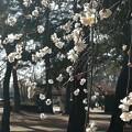 Photos: 垂れて咲く