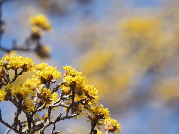 Photos: サンシュウの木