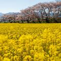 Photos: 黄色