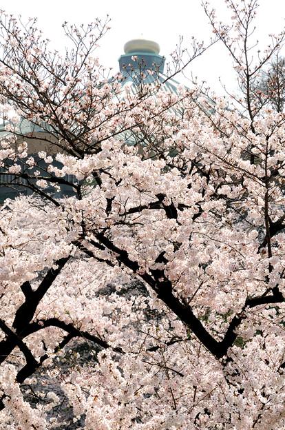 たまねぎと桜(日本武道館)