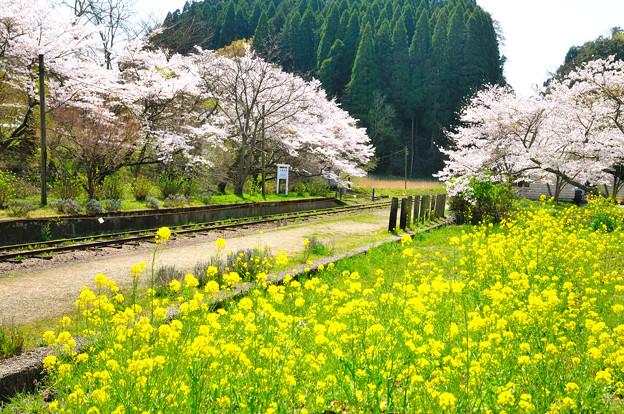 菜の花と桜の競演