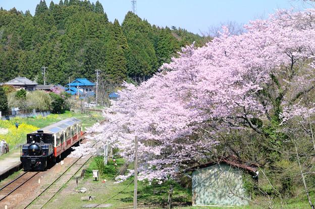 里山トロッコ列車と桜