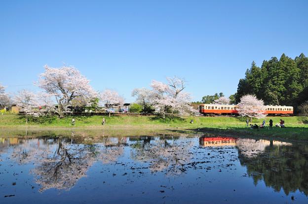 桜の水鏡とキハ