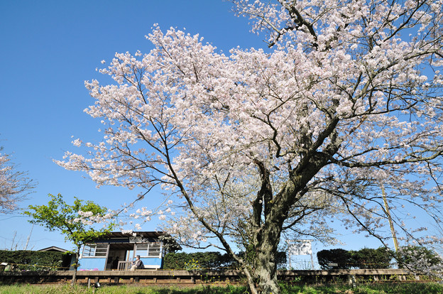 飯給駅と桜の古木