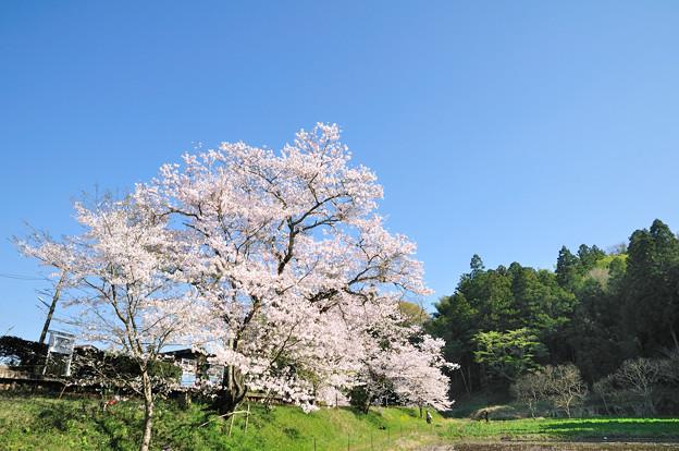 飯給駅の桜