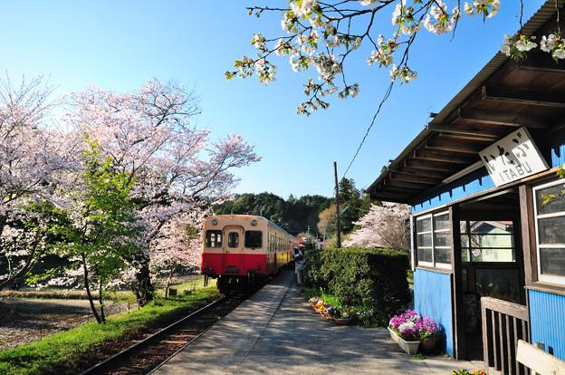 桜満開の駅に到着