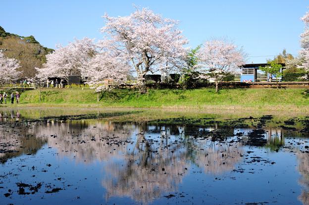 水鏡に映る桜と小さな駅舎