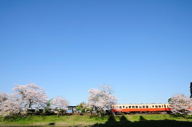 快晴の空と桜と