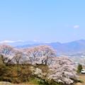 Photos: 甚六桜と185系特急はまかいじ号