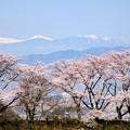 南アルプスと甚六桜
