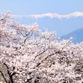 南アルプスと満開の桜