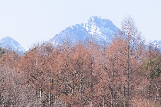 八ヶ岳とカラマツ