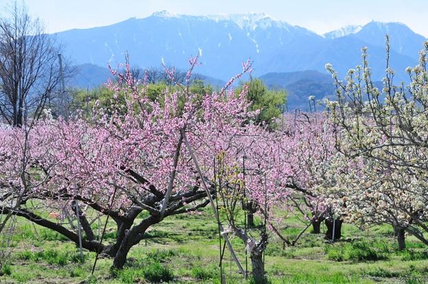 桃の花と八ヶ岳