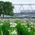写真: 菖蒲と京成電車