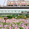菖蒲と京成電車
