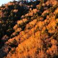 写真: 朝日に輝く白樺林