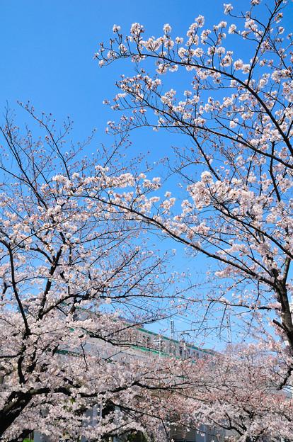 青空と桜の隙間を縫って