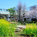 菜の花と桜と青空のコントラスト
