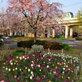 枝垂れ桜とチューリップと東京メトロ千代田線の電車