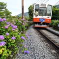 あじさいと白い電車