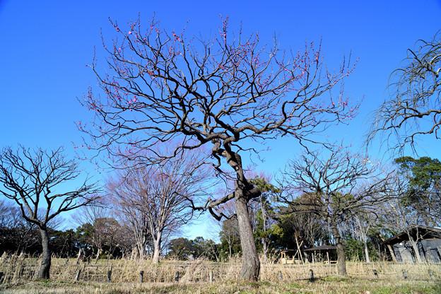ユニークな枝の梅の木