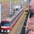 満開の河津桜と1000形電車
