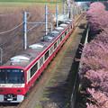満開の河津桜と2100形電車