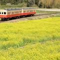 石神菜の花畑(養老渓谷駅)