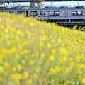 Photos: 菜の花と通勤電車