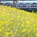 菜の花と通勤電車