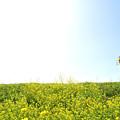 菜の花の築堤を行く(国吉~上総中川)