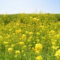 Photos: 菜の花の斜面