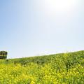 Photos: 菜の花の築堤を行く(国吉~上総中川)