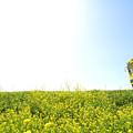 菜の花の築堤を行く(国吉~上総中川)シフト効果