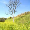 枯れ木と菜の花と青空と