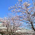 桜と東京メトロ千代田線