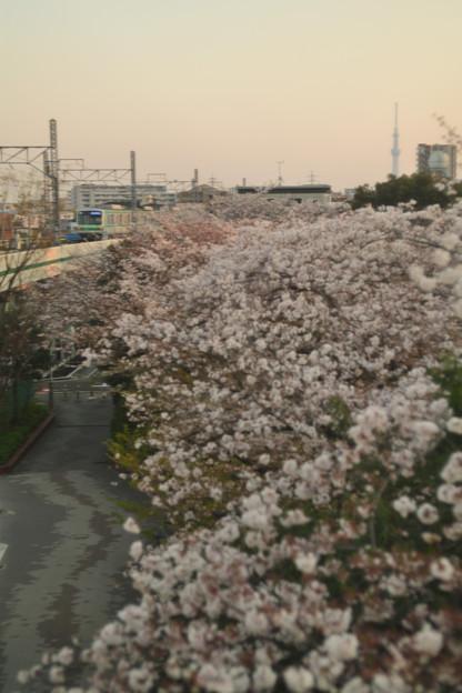 夕暮れの桜並木と東京メトロ千代田線05系電車