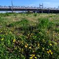 タンポポと荒川橋梁を渡る京成電車